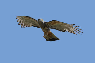 Adult Pacific Baza flying back  with  a grasshopper, to feed the two chicks in the nest.
