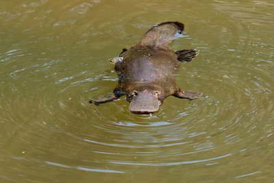 One of Australia's most enigmatic creatures, the Platypus.