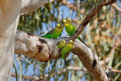 Budgerigars in the wild. The youngster is poking its body out of the nest.