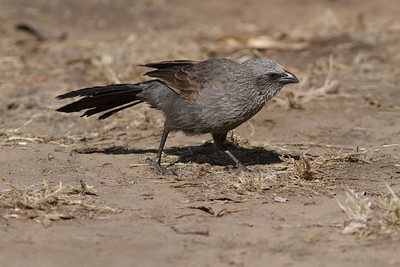 Apostlebirds feeding on grass seeds, on parched, drought stricken ground.