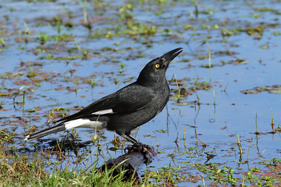 CURRAWONG PIED_07