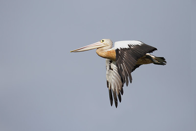 The Pelicans under-bellies are stained by the dirty water in the drying-out lagoon.