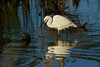 The smallest egret in Australia, the Little Egret hunting right after sunrise.
