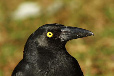 CURRAWONG PIED_12