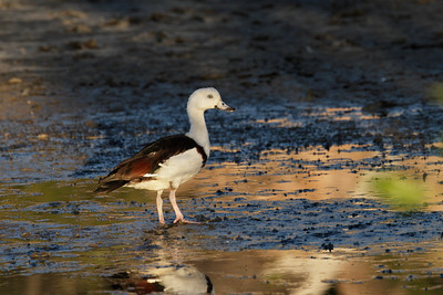 Image taken as the Radjah Shelduck was feeding actively in the inter tidal zone, only a couple of minutes before the sunset. Hence the colours and the light.