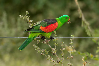 PARROT RED-WINGED M_05