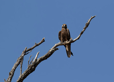 The rarest raptor in the Mackay region, almost unheard of, the Black Falcon. A bird of the drier inland.