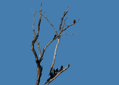 The rarest raptor in the Mackay region, almost unheard of, the Black Falcon. A bird of the drier inland. Three fledgling Black Falcons below and the male Black Falcon on top.
