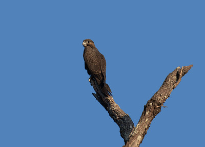 The rarest raptor in the Mackay region, almost unheard of, the Black Falcon. A bird of the drier inland. Fledgling Black Falcon, perching in the very early morning sun. The juveniles are certainly much darker in colour than their slightly brownish parents.