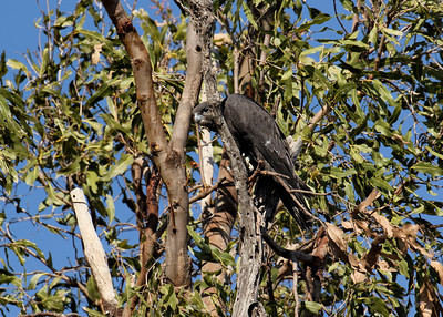 One of the Black Falcon juveniles, seen here just minutes after leaving the nest on its maiden flight. It flew out of the nest, did a semi-circle and proceeded to what could only be described as a crash landing in the canopy of a nearby tree. It rested for a few minutes, then it flew off to a tree some 100 m away and landed quite low, enabling me to get these shots. The fledgling was certainly not too sure what the big wide world was all about, especially in the very stiff breeze prevailing at the time. Holding on for dear life in the strong wind and preening was uppermost on its mind. It stayed there for 90 minutes, whereupon it flew back to the nest, reuniting with the other 3 siblings.