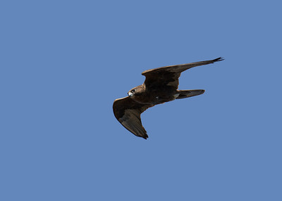 The female Black Falcon. A bird capable of extraordinary speeds. Having seen the Peregrines and the Black Falcons at point blank range and at flat out speeds, I'd rate them in the same class.