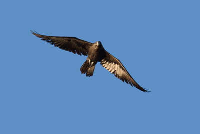 The rarest raptor in the Mackay region, almost unheard of, the Black Falcon. A bird of the drier inland. The dark juvenile Black Falcon seen here flying early in the morning.
