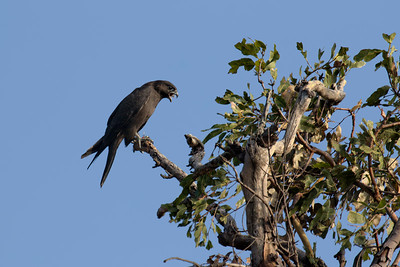 The rarest raptor in the Mackay region, almost unheard of, the Black Falcon. A bird of the drier inland. One of the adult Black Falcons flew in with prey and passed it to one of the fledglings, in mid air. The juvenile flew off, with what appeared to be a smallish decapitated bird, to a nearby perch and proceed to tear it apart, bit by bit. To my surprise the juvenile Black Falcon swallowed the entire leg, in what was clearly an uncomfortable procedure.