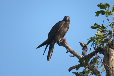 The rarest raptor in the Mackay region, almost unheard of, the Black Falcon. A bird of the drier inland. One of the adult Black Falcons flew in with prey and passed it to one of the fledglings, in mid air. The juvenile flew off, with what appeared to be a smallish decapitated bird, to a nearby perch and proceed to tear it apart, bit by bit.