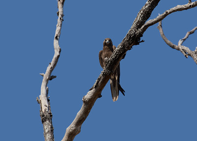 The rarest raptor in the Mackay region, almost unheard of, the Black Falcon. A bird of the drier inland. The female Black Falcon, perching on a dead tree, that seemed to be a favorite roost tree of theirs.