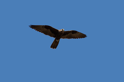 The rarest raptor in the Mackay region, almost unheard of, the Black Falcon. A bird of the drier inland. The male Black Falcon, cruising above me. Its facial feathers are clearly much lighter, than the feathers of the darker female. Whether that is characteristic of the species or not, I have not been able to find out.