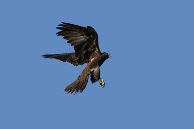 The rarest raptor in the Mackay region, almost unheard of, the Black Falcon. A bird of the drier inland. The juvenile Black Falcon, about to land on a perch.