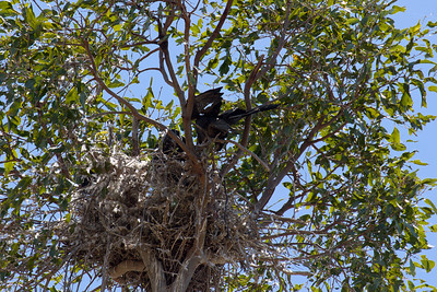 The rarest raptor in the Mackay region, almost unheard of, the Black Falcon. A bird of the drier inland. The male Black Falcon having just flown in with food for the four nestlings.
