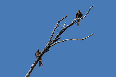 The rarest raptor in the Mackay region, almost unheard of, the Black Falcon. A bird of the drier inland. The breeding pair of Australia's endemic Black Falcons, seen here at Mackay. The larger and darker female is perching on the bottom. The smaller and facially much lighter male is perching on top.
