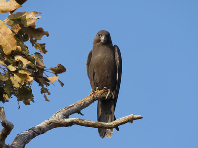 The rarest raptor in the Mackay region, almost unheard of, the Black Falcon. A bird of the drier inland. The young Black Falcon, looking very smug after finishing its meal.