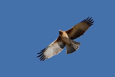 The very rare Little Eagle, the paler morph.