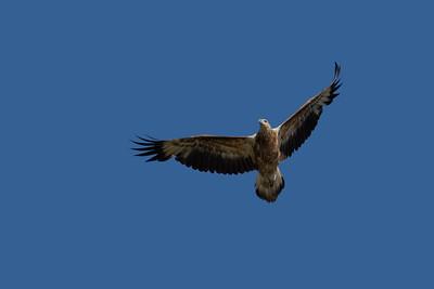 Last year's fledgling immature Sea Eagle