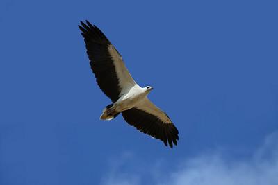 EAGLE SEA WHITE-BELLIED 04