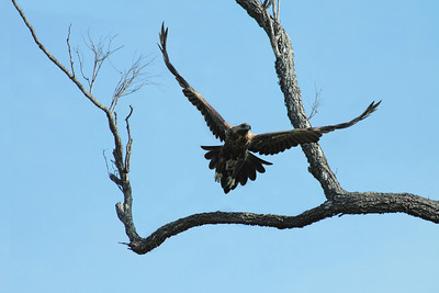 WEDGE-TAILED EAGLE FIRST YEAR JUVENILE  02  TAKING OFF FROM HIS ROOSTING PERCH