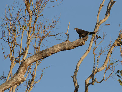 An extraordinary rare bird of prey to find in our region. We have not heard of any other being seen.