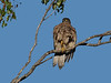 GOSHAWK BROWN_07