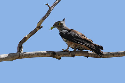 An adult Pacific Baza arriving at a perch with grasshoppers for its two chicks at the nest a few metres away. I observed a number of times that the adult would tear off the head and the wings off the grasshopper before feeding it to the chick.