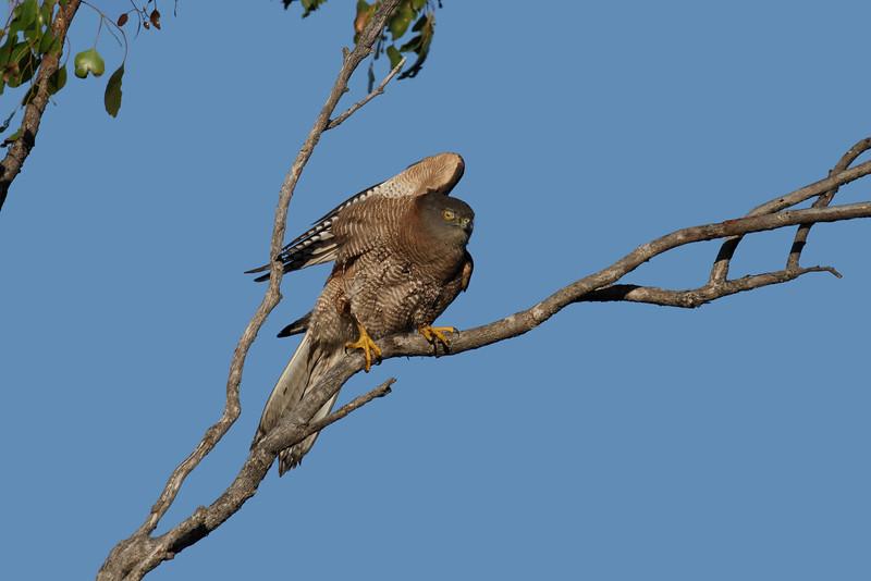 The Brown Goshawk ducking from a diving assault by a pied butcherbird. Hence the wing up and the protective membrane over the eye.