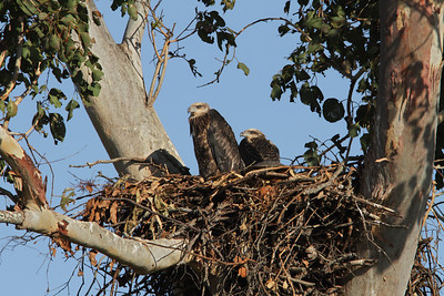 EAGLE W-B SEA CHICKS 14 9 12_02