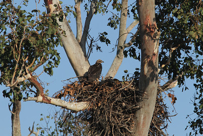 EAGLE W-B SEA CHICKS 31 8 12_01