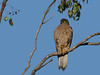 GOSHAWK BROWN_06