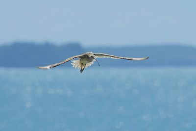 CURLEW EASTERN_07