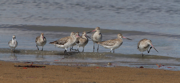 GODWIT BAR-TAILED_10