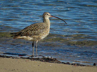 CURLEW EASTERN_18