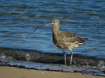 CURLEW EASTERN_20