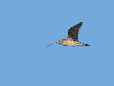 CURLEW EASTERN__09
