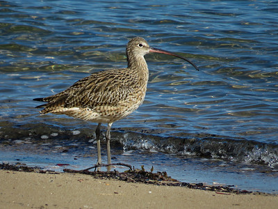 CURLEW EASTERN_19