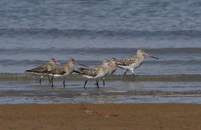 GODWIT BAR-TAILED_11