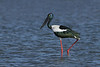 STORK BLACK-NECKED F_30