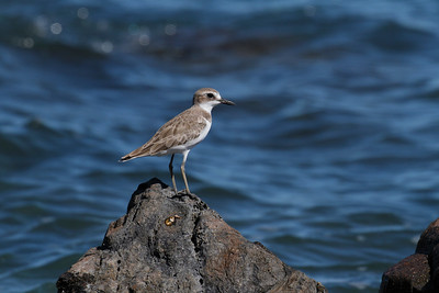 PLOVER SAND GREATER_08