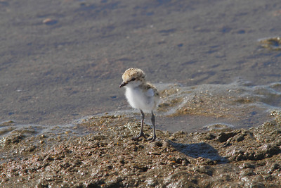 PLOVER RED-CAPPED JUV_04