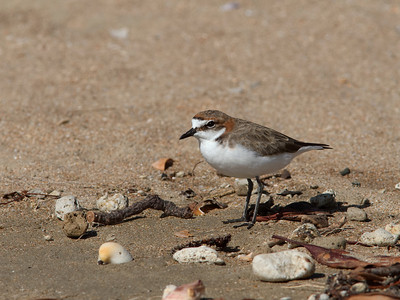 PLOVER RED-CAPPED F_02