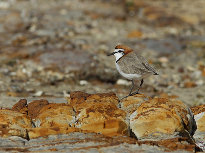 PLOVER RED-CAPPED_25
