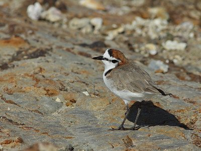 PLOVER RED-CAPPED_28