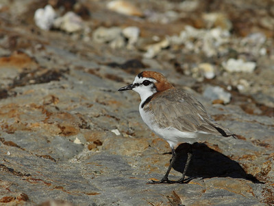 The smallest endemic shore bird in Australia, at 15 cm ( 6' ). This is the male, with the red cap. Hence, the Red-capped Plover.