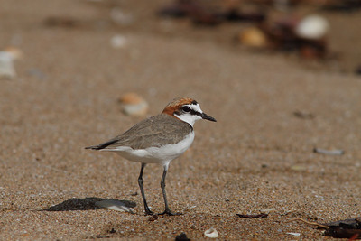 PLOVER RED-CAPPED_37